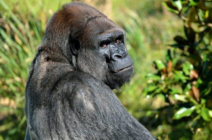 野生のゴリラの写真